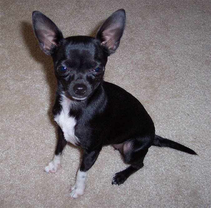 chihuahua black and white black and white chihuahua ali spagnola 3282
